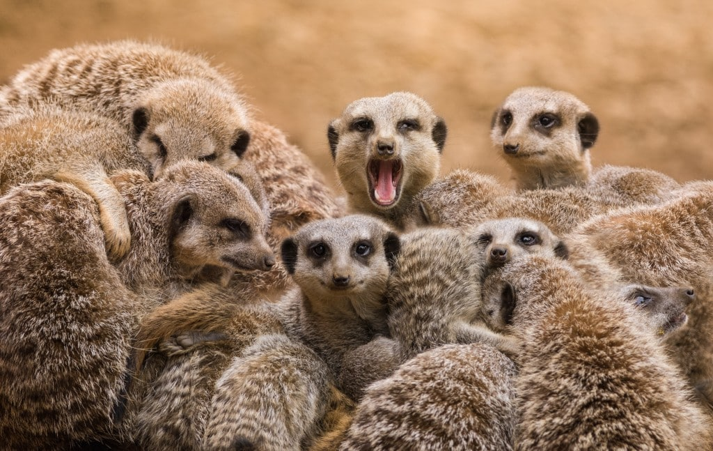 http://www.dreamstime.com/stock-photography-meerkats-group-keeping-warm-image41414042
